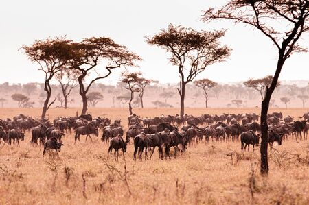 Large herd of African wildebeest in golden grass meadow of Serengeti Grumeti reserve Savanna forest in evening - African Tanzania Safari wildlife trip during great migration