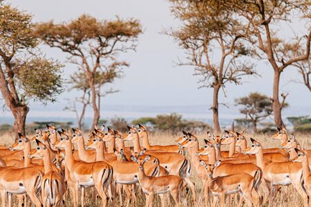 Large herd of African Impala in golden grass meadow of Serengeti Grumeti reserve Savanna forest - African Tanzania Safari wildlife trip during great migration 스톡 콘텐츠