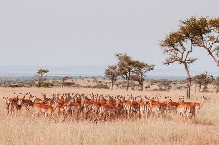 Large herd of African Impala in golden grass meadow of Serengeti Grumeti reserve Savanna forest - African Tanzania Safari wildlife trip during great migration Stock Photo