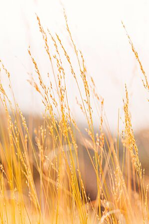 Grass field against sunset or sunrise, grass flowers with rim of sunlight in evening or morning, close up shot