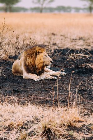 Male lions lie peacefully in burned grass field of Serebgeti savanna forest - Tanzania African wildlife animal