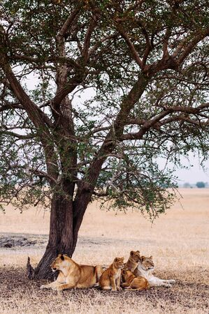 Herd of Lions, Female and young lions family lie under tree in grass field Serebgeti savanna forest - Tanzania African wildlife animal Reklamní fotografie