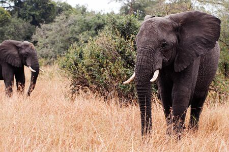 Herd of large African Elephants in golden grass field in Grumeti reserve, Serengeti Savanna forest in Tanzania - African safari wildlife watching trip