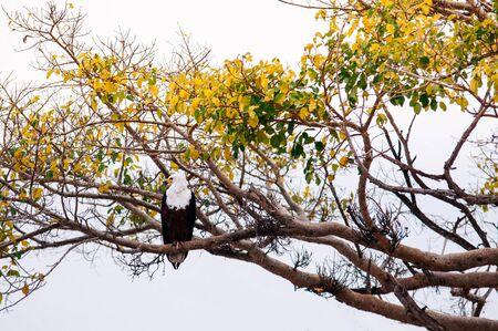 Big beautiful Bald eagle on tree branch in Serengeti savanna forest - African wildlife hunter bird
