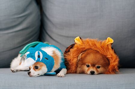 Cute young Pomeranian and Chihuahua puppie dog in fancy clothes lazy lying on sofa couch with sleeppy eyes and face