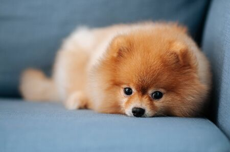 Cute young Pomeranian dog lazy lying on sofa couch with curious eyes staring at camera
