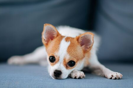 Cute young Chihuahua dog lazy lying on sofa couch with boring eyes and face Reklamní fotografie
