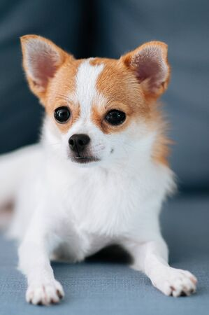 Cute young Chihuahua dog puppie sit on sofa couch with curious eyes and face