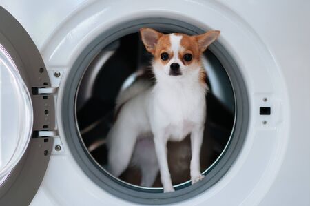 Cute chihuahua dog puppie in washing machine with curious exiting eyes and face
