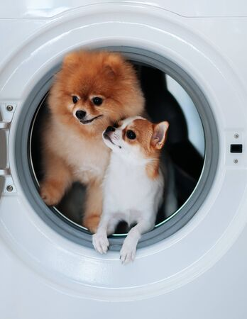 Dog puppie couple Chihuaua and Pomeranian in washing machine with happy face curious eyes Reklamní fotografie