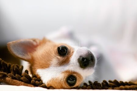 Cute young Chihuahua dog lazy lying on sofa couch with sleepy eyes and face. close up