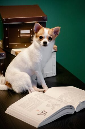 Cute young puppie Chihuahua dogs sit on table reading text books and boxes. Pet, interior and study concept