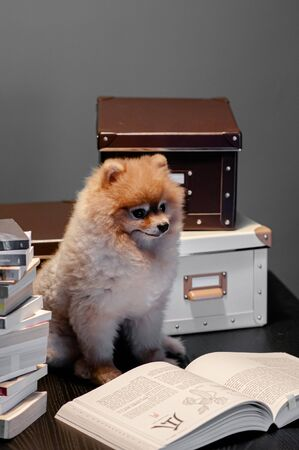Cute young puppie pomeranian dogs sit on table with pile of books and boxes. Pet, interior and study concept Reklamní fotografie
