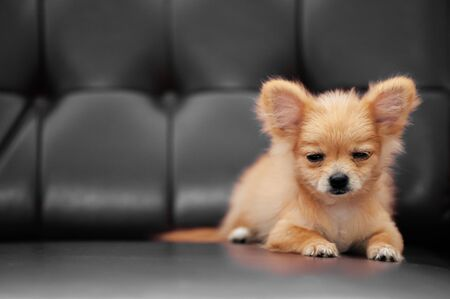 Cute young Chihuahua baby dogs with very sleepy face eyes half open, cozy lying on leather sofa couch Reklamní fotografie