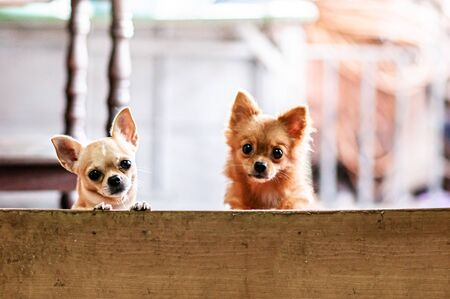 Cute young Chihuahua puppy dog couple behind fence look at camera with curious eyes