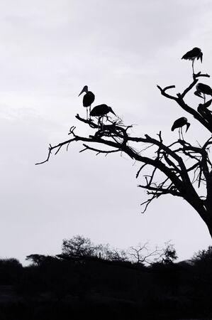Flock of Wild African Marabou Stork bird on tree branches in Serengeti savanna forest Tanzania. Silhouette high contrast image