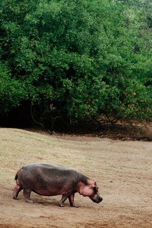 Large Hippopotamus or common Hippopotamus amphibius walking on grass meadow in Serengeti savanna forest - Tanzania