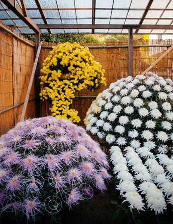Kiku Matsuri Japanese Chrysanthemums flower