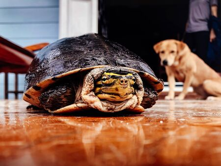 Scared black river turtle keeps head in shell with curious dog look from behind