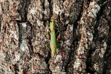Wild green Mantis on tree bark close up details on back and wings - Tropical natural predator insect