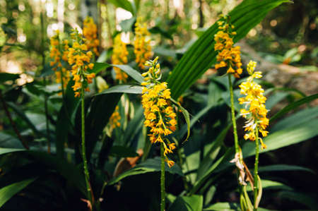 Yellow fresh Calanthe lyroglossa orchid or christmas  in lush tropical forest - Good environmental and pure nature of Phu Kradueng national park - Loei, Thailand Фото со стока