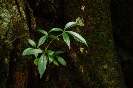 Green fresh young leaves growing from tree trunk in lush tropical forest - Good environmental and pure nature of Phu Kradueng national park - Loei, Thailand Фото со стока