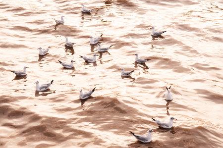 Small flock of Seagull birds floating on sea surface under warm evening light at Bang Pu in Samut Prakarn near Bangkok - Thailand