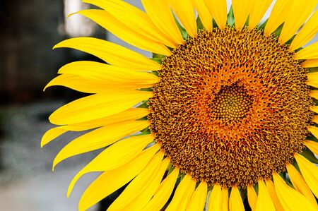 Macro close up details of golden yellow sunflower disk floret and ray floret petals. Nature plant background with text space on one side. Фото со стока