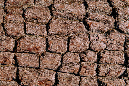 Close up rough texture of Merkus pine or Sumatran (Pinus merkusii Jungh. & de Vriese). wood bark with many cracks background