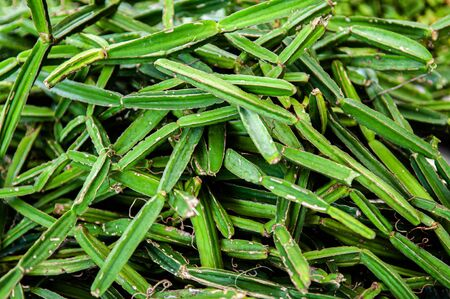 Fresh Cissus Quadrangularis Linn. Edible Stemed Vine herb for pain treatment. Natural medicine Foto de archivo