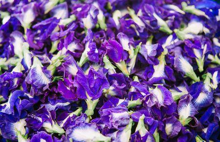 Beautiful vibrant Butterfly pea flower or Clitoria ternatea, herbal flower for making healthy tea Foto de archivo