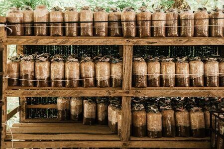 Mushroom spawns on old wood shelf in small local Asian organic  mushroom farm.