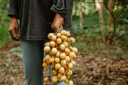 Yellow beautiful bunch of Ma Fai - Som Fai or Burmese Grape southeast asian tropical wild fruit in framer hand Foto de archivo