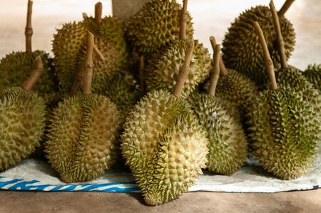 Fresh big whole Durian fruits in Thailand fruit orchard. King of fruit with spike and unique smell