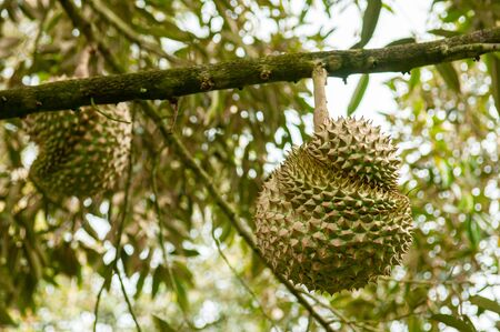 Fresh whole big Durian fruit on its tree in Thailand fruit orchard. Foto de archivo