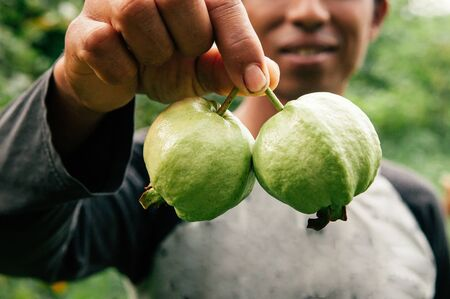MAY 20,  2018 Hua Hin, Thailand - Fresh picked green Guava fruits in Asian farmer hand. Tropical Thai fruit orchard product.