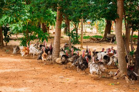 Turkey free range outdoor farming under green tree in asian country