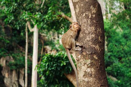 Thai young Long tail Macaque Monkey sit on big tree in tropical forest