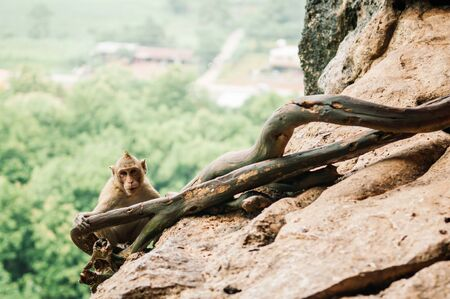 Thai young Long tail Macaque Monkey sit on rock cliff in tropical forest, staring at camera Foto de archivo