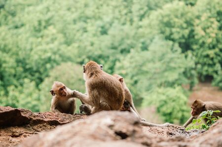 Thai young Long tail Macaque Monkey family sit on rock cliff in tropical forest in Thailand