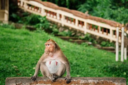 Thai young Long tail Macaque Monkey sit on concrete fence in tropical village forest in Thailand Foto de archivo