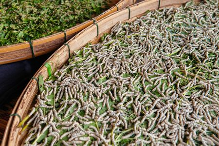 White living silkworm eating Mulberry leaves in bamboom tray. Thai silk fabric meterial local farming process.