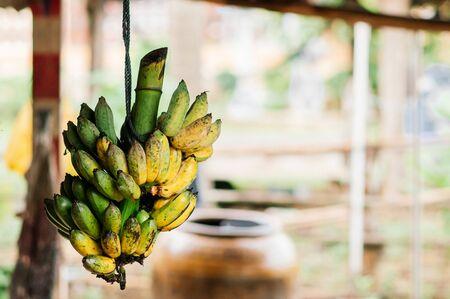 Klui Namwa or Pisang Awak banana hanging on rope. High nutrition Asian tropical fruit