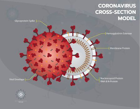 Coronavirus or Covid19 or Sar COV 2 cross section model. Coronavirus - Enveloped virus structure vector illustration graphic