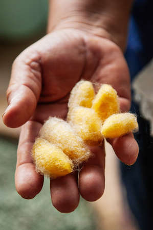 Details of natural shining yellow silk cocoons traditional sericulture of Thai silk making in Countryside