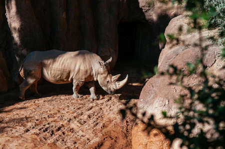 Large African big five southern white Rhino under bright sun in Valencia Bioparc zoo. Spain