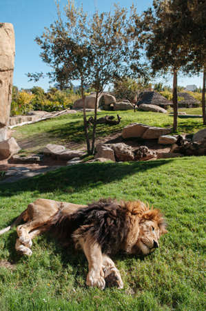African Male Lion sleep on green grass lawn under bright sunlight in Valencia Bioparc zoo. Spain