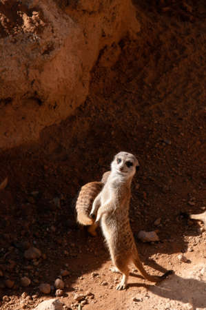Small African Meerkat stand with two legs in Valencia Bioparc zoo under bright sunlight, Spain