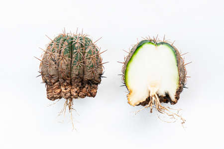 Cactus disease dry root rot and rust plant caused by fungi, Half cut severe damage fungi infected Melocactus cactus isolated on white background showing serious damge at skin and root