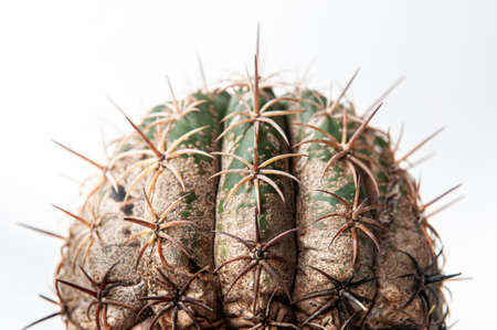 Cactus disease dry root rot caused by fungi, severe damage fungi infected Melocactus cactus isolated on white background showing serious damage at skin and root